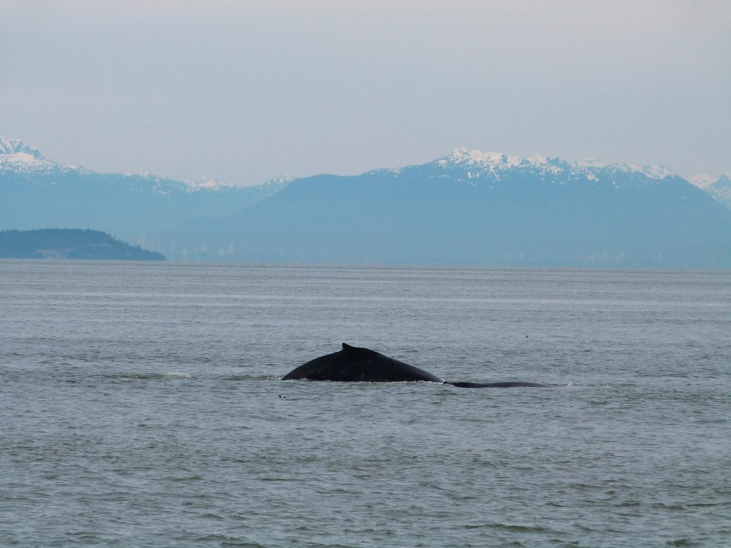 Whale Watching in Victoria